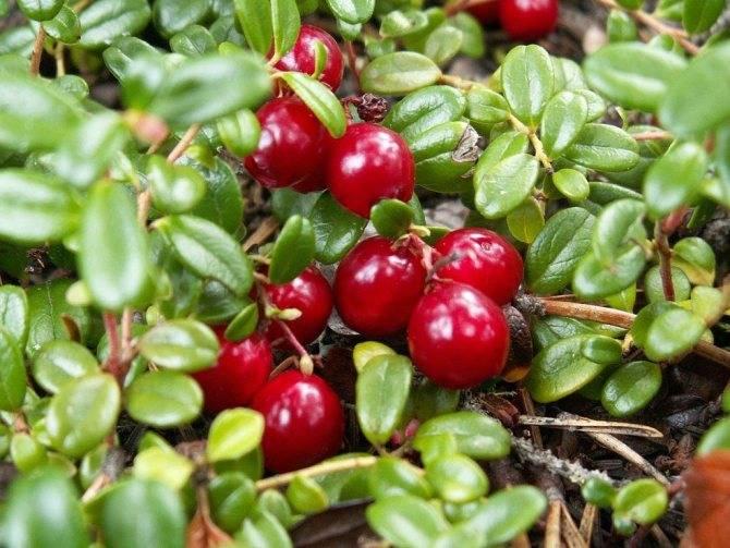 Как посадить садовую клюкву на даче