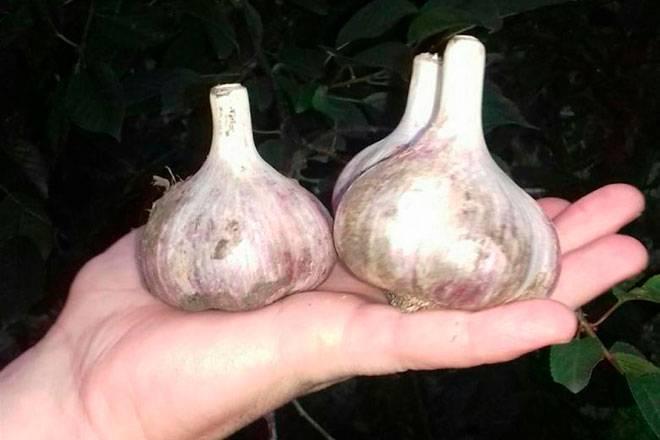 Посадка и выращивание лукочеснока рокамболь