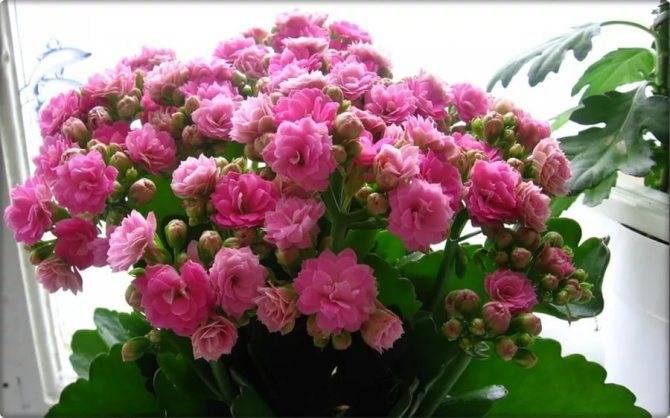 Как пересадить каланхоэ, в том числе если он цветёт