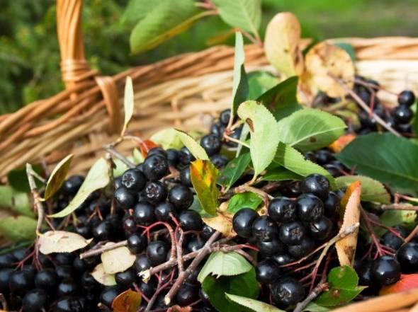 Черноплодная рябина: лечебные свойства, рецепты, противопоказания