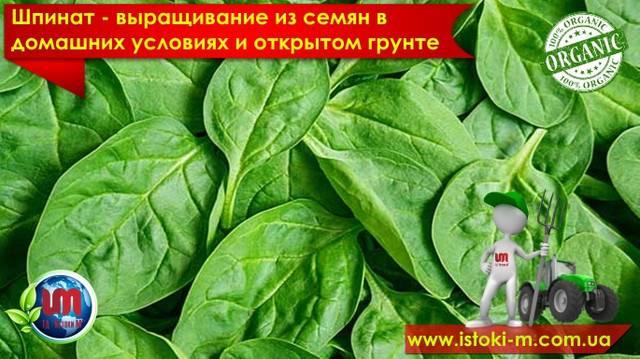 Весной, летом, осенью или может зимой? когда нужно сажать шпинат в разных уголках россии?