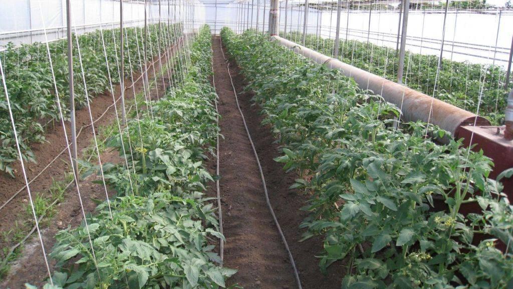Правильная посадка рассады томатов в открытый грунт