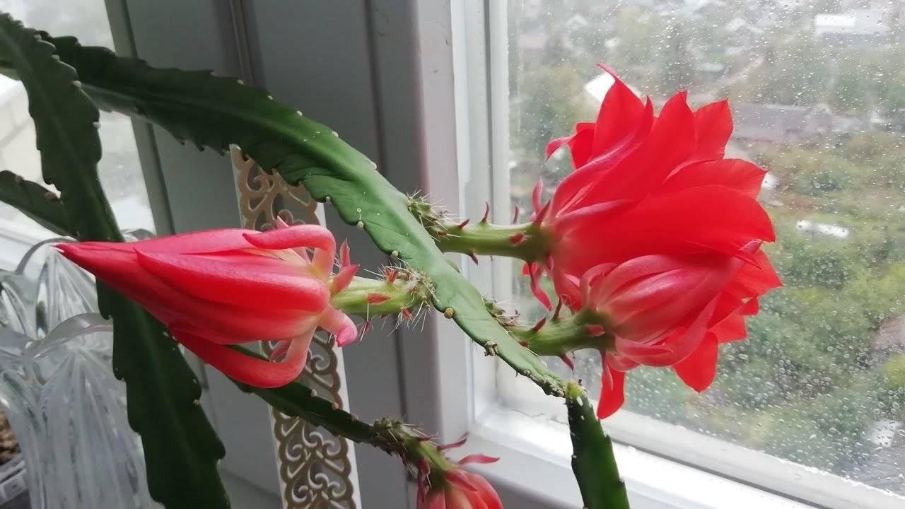 Почему не цветет лилейник и что делать?