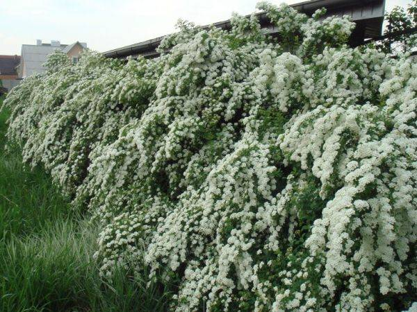 Обрезка спиреи после цветения: правила и схема
