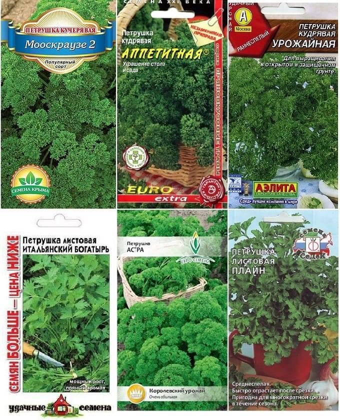 Петрушка листовая, сорта, польза, особенности выращивания, уход
