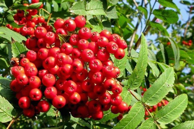 Рябина Невежинская – сладкоплодный сорт