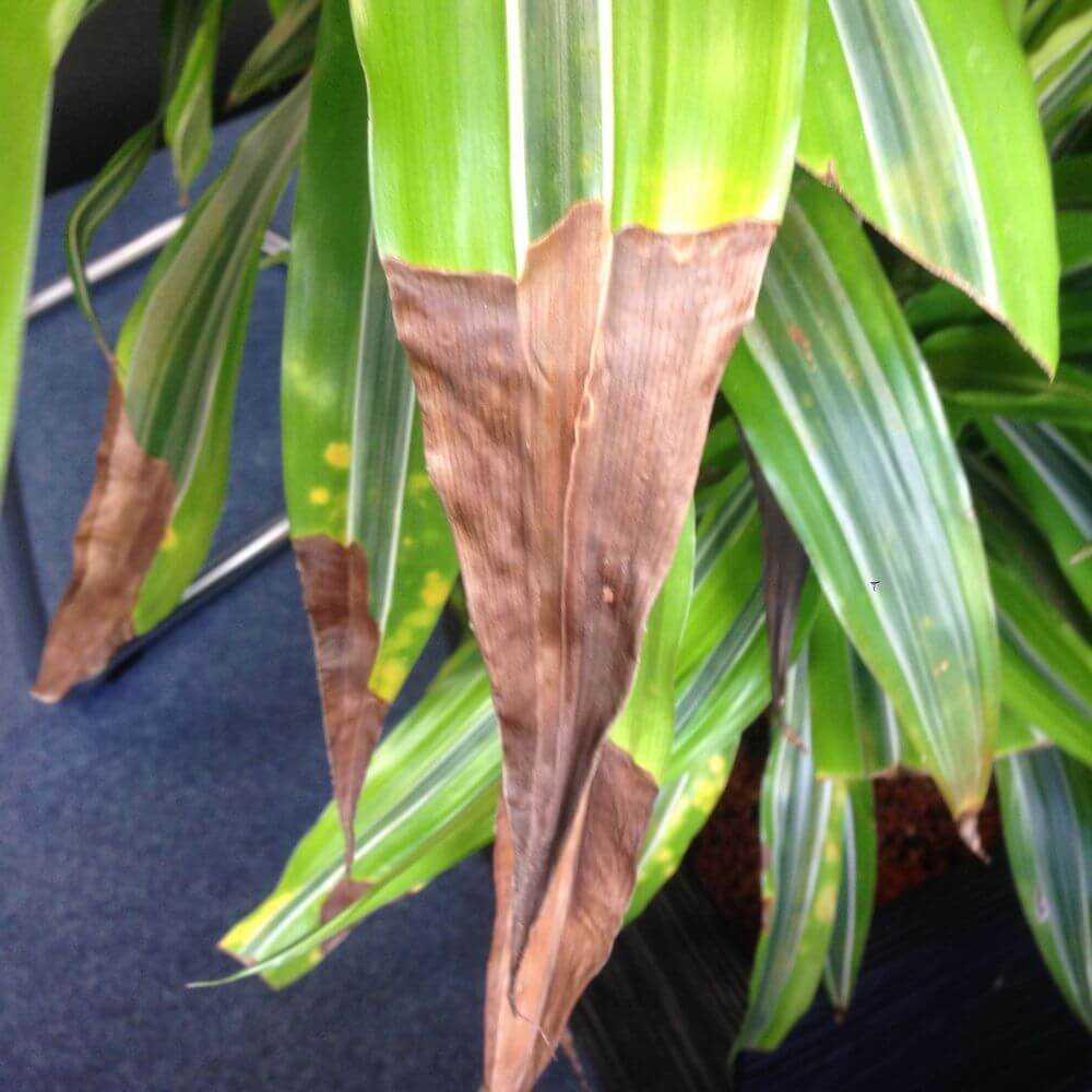 Почему у драцены желтеют листья и опадают