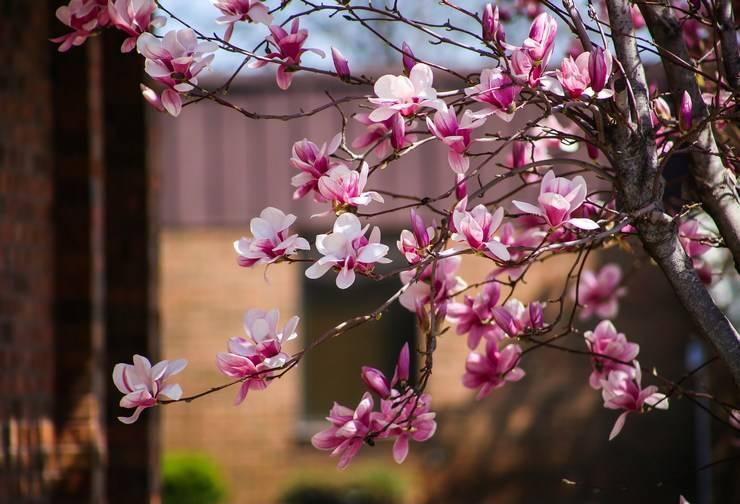 7 популярных видов магнолии для вашего сада