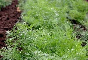 Особенности посадки корневой петрушки в открытом грунте, теплице и на подоконнике. нюансы ухода за растением