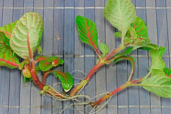 Выращивание и уход за фиттонией в домашних условиях