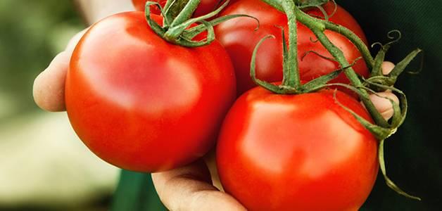 Польза помидоров и вред для организма: показания и противопоказания к применению томатов (110 фото и видео)