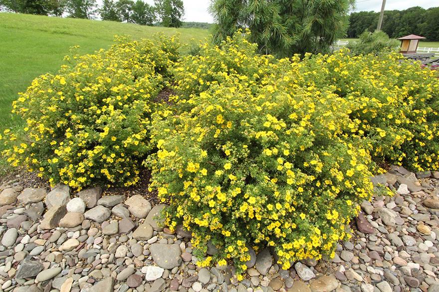 Неприхотливые кусты в саду: выращиваем лапчатку кустарниковую. все об уходе и посадке лапчатки кустарниковой (с фото)