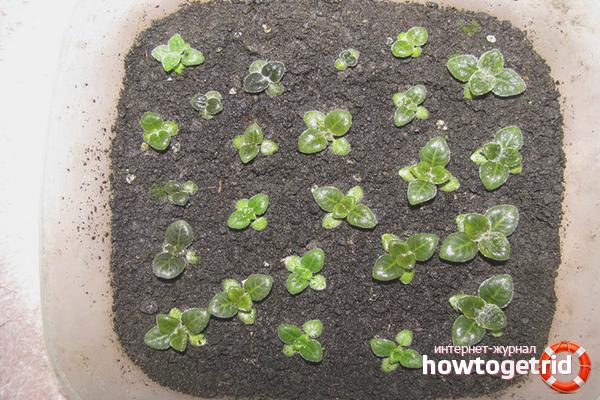 Подробное руководство, как в домашних условиях вырастить глицинию из семян
