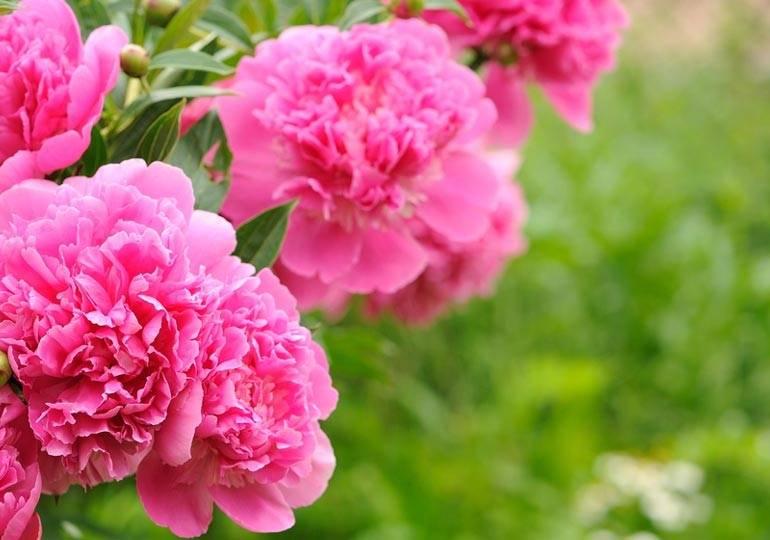 Пион травянистый: исторические и новые сорта с описанием