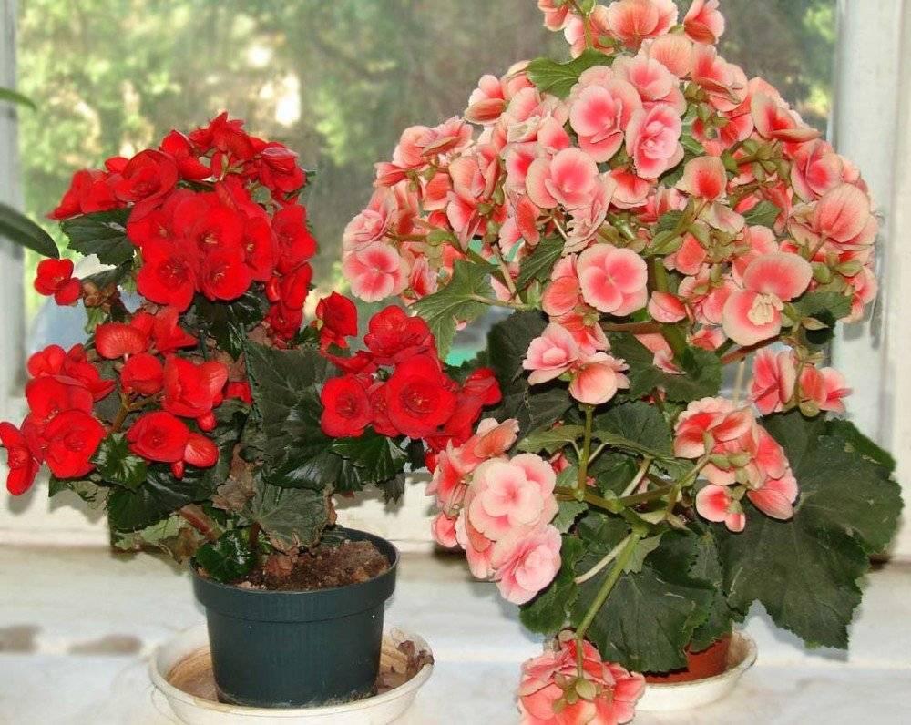 Как произвести размножение бегонии вечноцветущей в домашних условиях и осуществить надлежащий уход за растением?