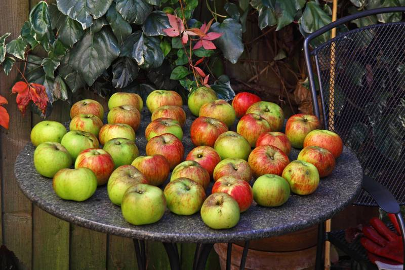 Черенкование яблони: заготавливаем, укореняем или прививаем