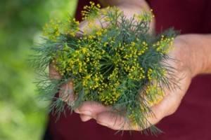 Пастернак: полезные свойства и противопоказания, выращивание и уход