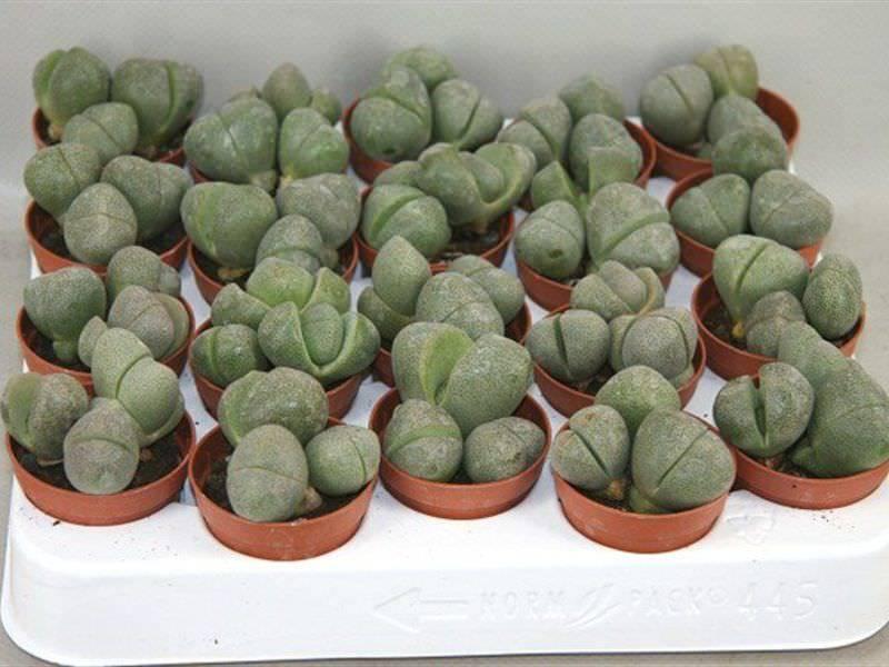 «живые камни» из семян в домашних условиях? рекомендации по выращиванию литопсов