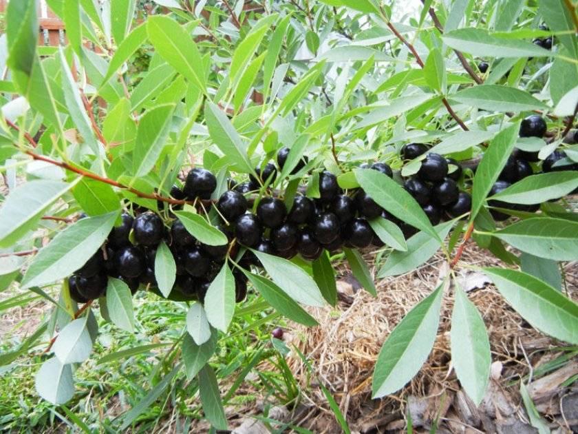 Песчаная вишня бессея: описание сорта, выращивание и особенности ухода