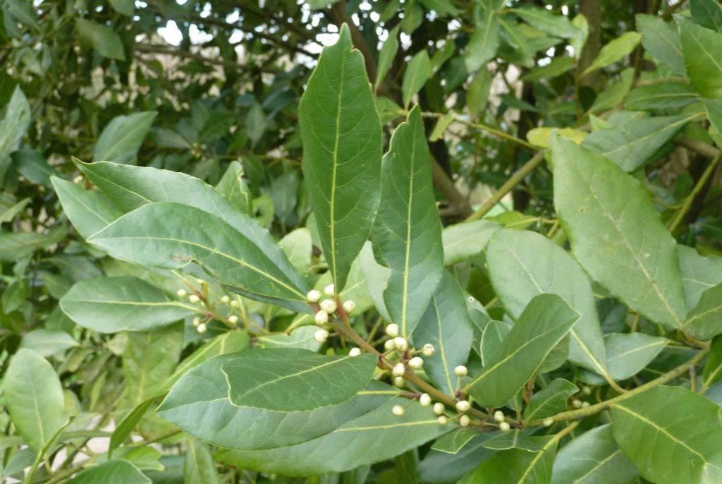 Как дома вырастить ароматный лавровый лист: советы по посадке и уходу