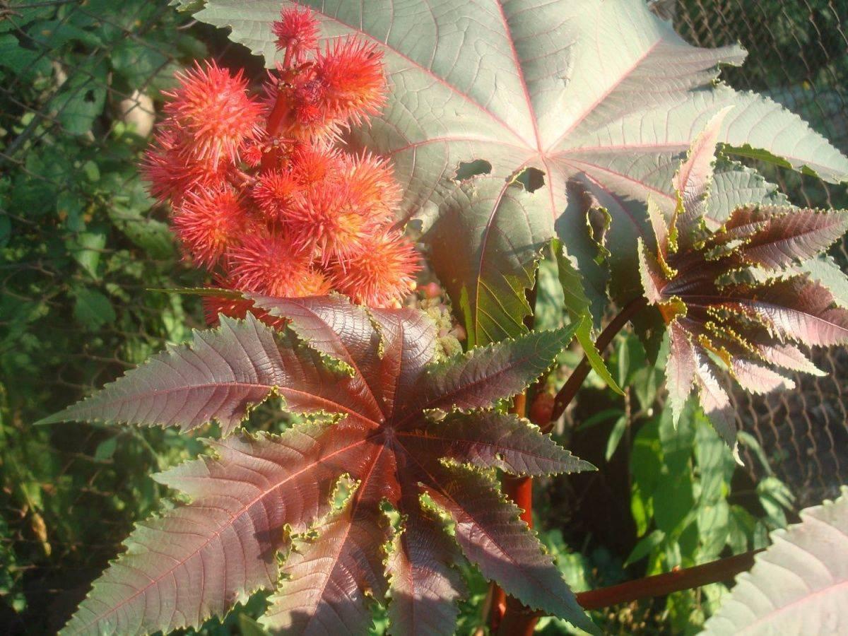Клещевина: описание, разновидности и выращивание