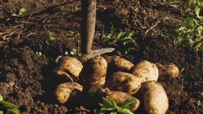 Способы хранения очищенного картофеля