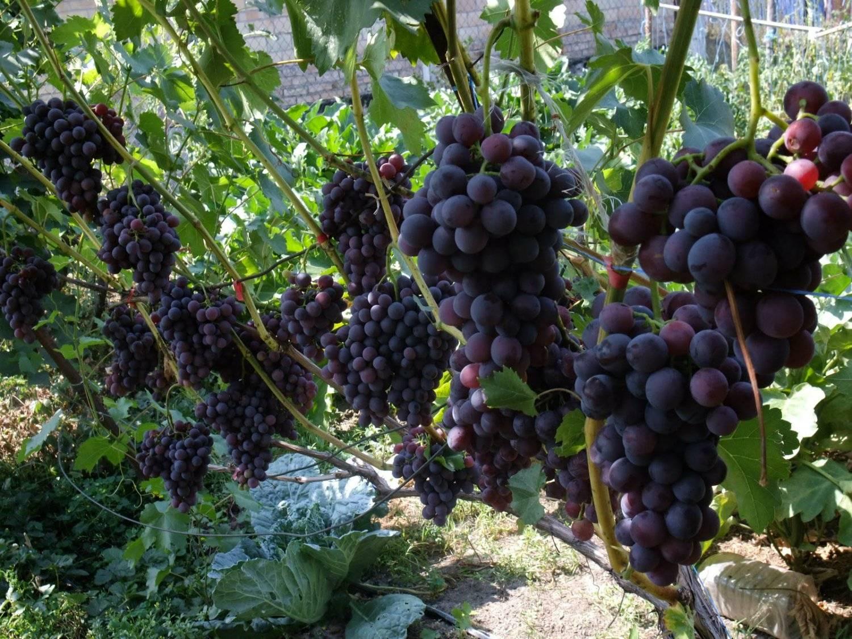 Когда и как правильно обрезать виноград осенью: схемы обрезки для начинающих