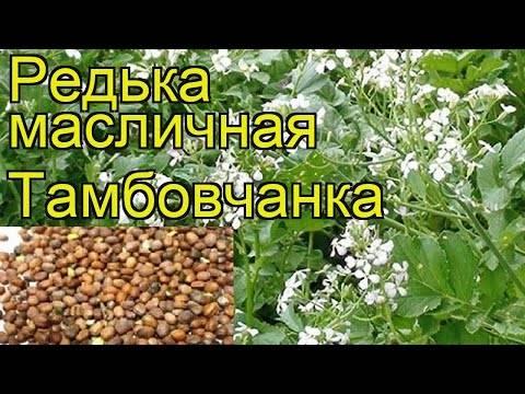 Редька масличная: сидерат, фураж, медонос
