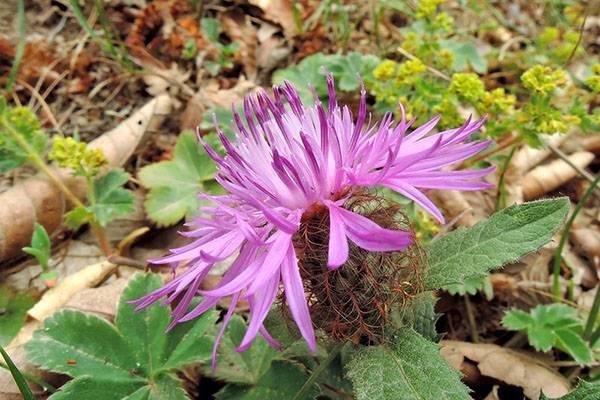 Цветы васильки, выращивание