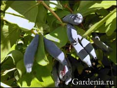 Как размножить жимолость черенками, семенами, отводами + видео