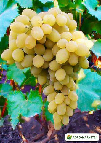 Созревание ягод винограда: как условия и сорта влияют на сроки?
