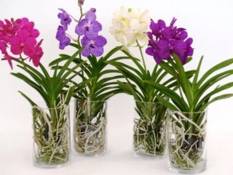 Тонкости ухода и размножения великолепной орхидеи Ванда