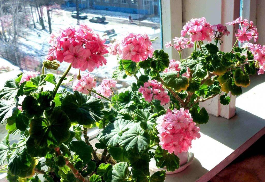 Почему белеют листья у герани комнатной и как помочь растению