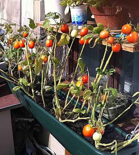 Посадка и уход за помидорами черри в теплице. как вырастить помидорки черри в теплице
