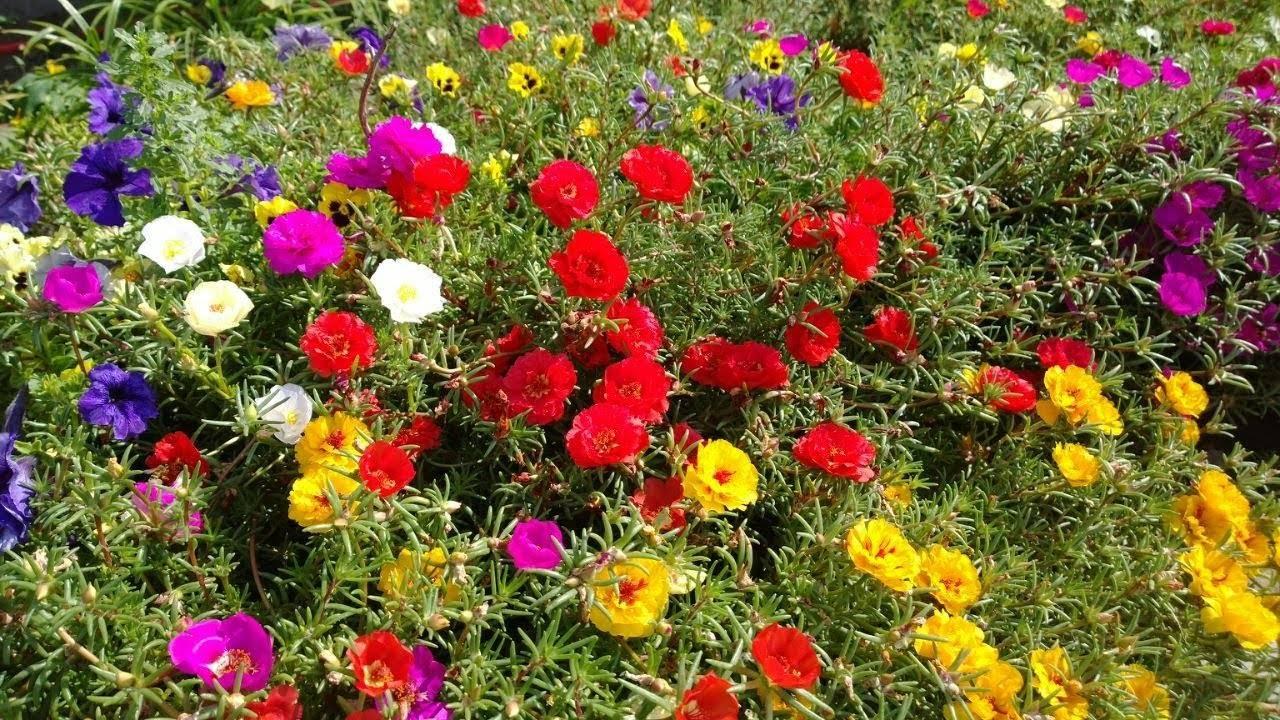 Огородный и красивоцветущий портулак: выращивание из семян, когда сажать неприхотливое растение на рассаду и в открытый грунт