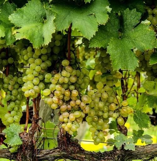 Летний уход за виноградом: как получить хороший урожай