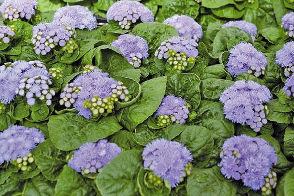 Цветы агератум: посадка и уход