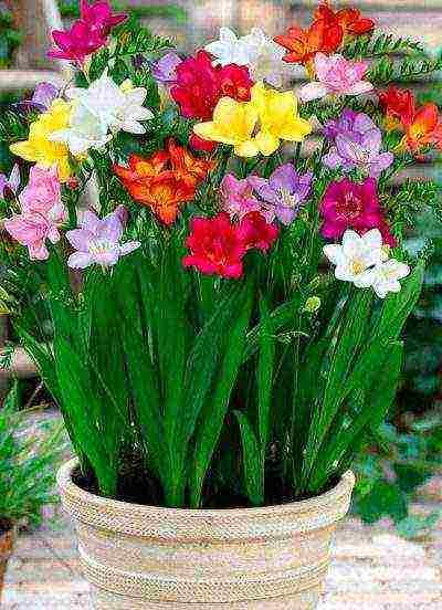 Посадка фрезии в открытый грунт весной: выращивание и уход