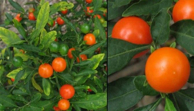 Помидоры черри на подоконнике, в домашних условиях: как просто и быстро вырастить томаты? советы и рекомендации для начинающих (105 фото)