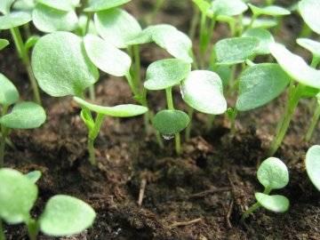 Как вырастить виолу из семян в открытом грунте