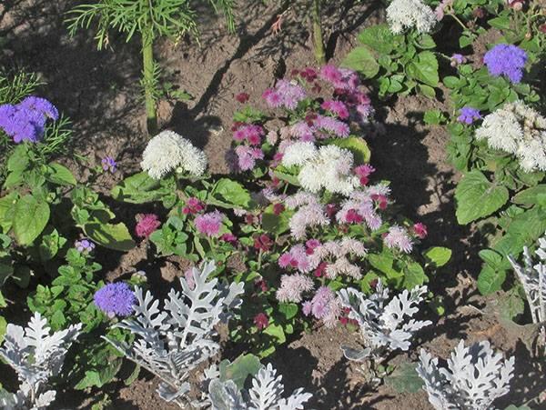 Чем привлекают нас виды и сорта агератума