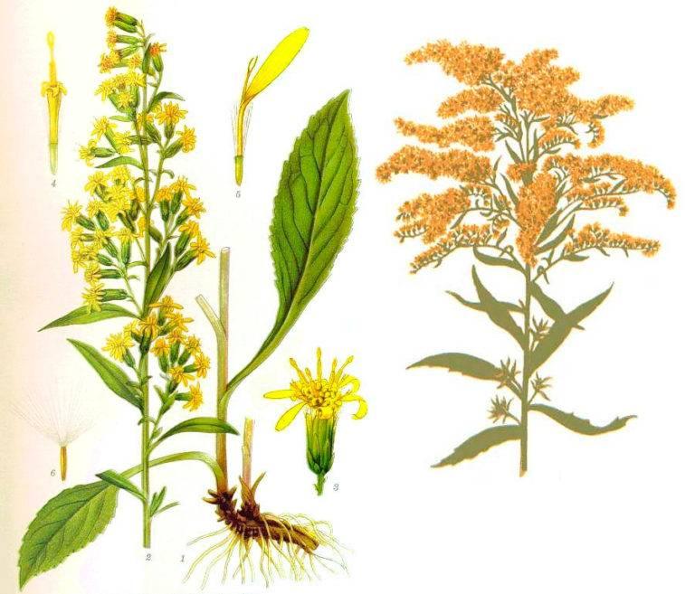 Лечебные свойства золотарника обыкновенного, применение, польза и вред травы