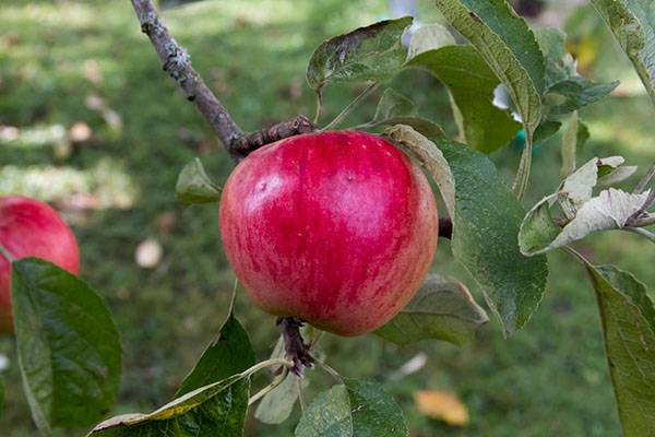 Вкусная яблоня Серебряное копытце в вашем саду