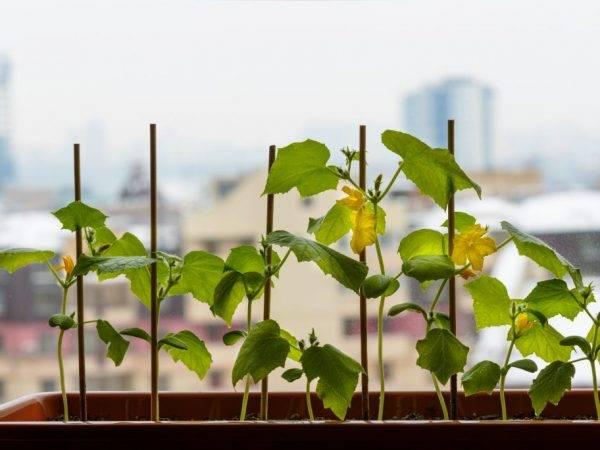 Как вырастить огурцы зимой в квартире: на подоконнике или балконе