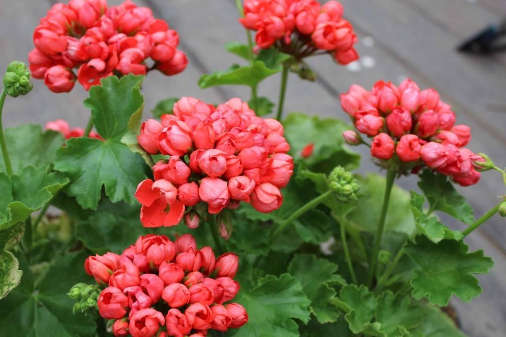 История появления тюльпановидной герани и особенности ухода за растением