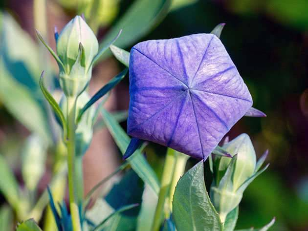Как вырастить платикодон (ширококолокольчик) из семян на рассаду: видео