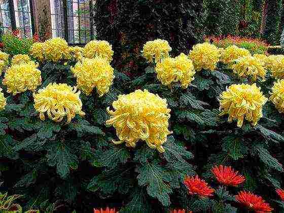 Хризантема садовая мелкоцветковая: описание и выращивание