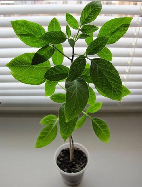Пепино (дынная груша): подкормки, полив, уход, черенкование, выращивание в кадке