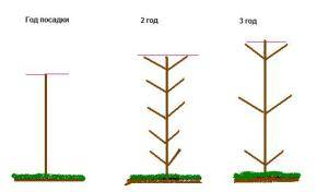 Особенности выращивания колоновидных яблонь