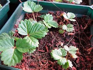 Как правильно сажать клубнику весной в открытый грунт: инструкция для начинающих
